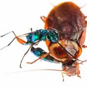 "A. compressa female delivering the ""zombie"" sting to the cockroach (Periplaneta americana)"