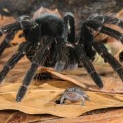 spider_frog_symbiosis_peru8