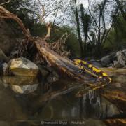 Female fire salamander (Salamandra salamandra) live bearing its larvae inside a stream's side pool with slow moving water. Italy