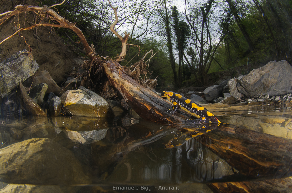 Witnessing an incredible birth of a fire Salamander