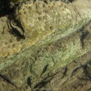 Salamandrina perspicillata laying eggs underwater, Italy