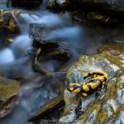 Female fire salamander (Salamandra salamandra) during live bearing season near a stream where she deposited her larvae, Italy