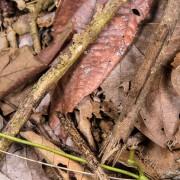 Pylaemenes sp. stick insect, Borneo