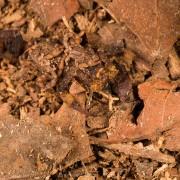Tityus sylvaticus with spawn, Peru