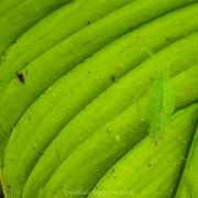 Green cone-head katydid under a leaf, Peru