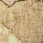 A bark mantis (Liturgusa sp.) on a tree trunck, Peru