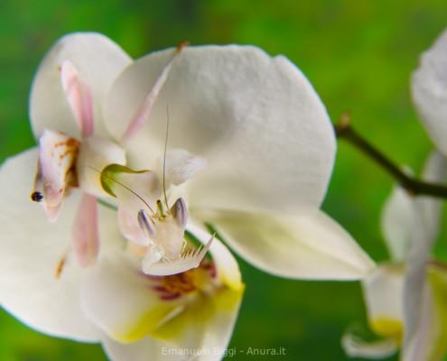 Hymenopus coronatus, the orchid mantis, Borneo