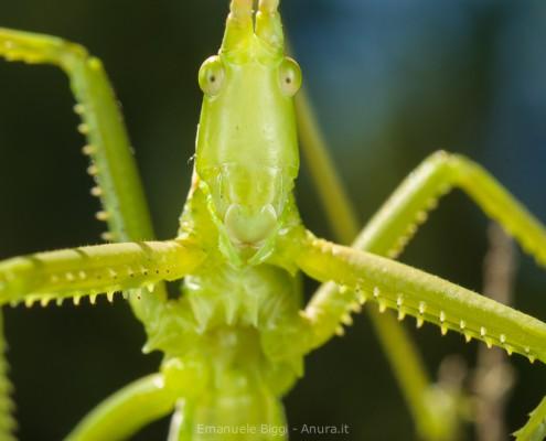 Saga pedo, Predatory Bush Cricket, subadult specimen, Italy