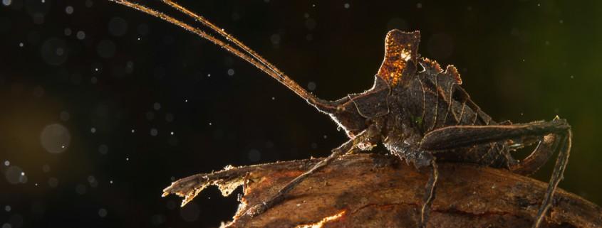 Dead leaf katydid (probably Typophyllum sp.), Cosnipata, Peru