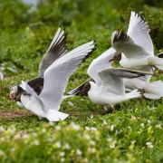 Fratercula artica (Puffin) being robbed by laughing gulls