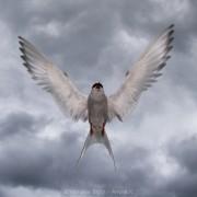 Sterna paradisaea (arctic tern) attacking me