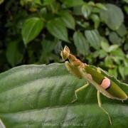 A flower mantis (Creoboter sp.) from Poring Hot Springs National Park