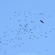 Bats from Deer Cave being attacked by bat hawk (Macheiramphus alcinus) at Gunung Mulu National Park