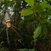 Golden orb web spider (Nephila pilipes) female in the Bako National Park