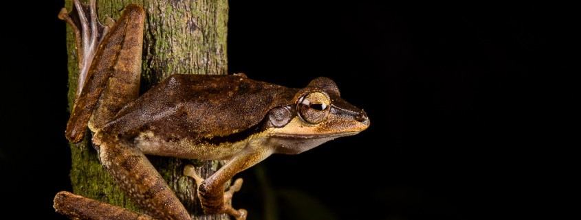 Polypedates macrotis perching on a branch, Kubah National Park