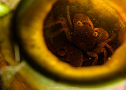 Land crab (Geosesarma malayanum) living inside a pitcher plant's pitcher (Nepenthes ampullaria) in the Bako National Park
