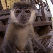 Silver langur (Trachypithecus cristatus) young playing with the camera