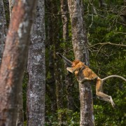 Proboscis monkey (Nasalis larvatus) jumping from a tree to another with her baby tightly attached to her