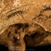 Giant centipede (Thereuopoda sp.) inside Gomantong caves