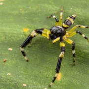 Unidentified jumping spider (probably  Thiania sp.) from Kinabatangan forest