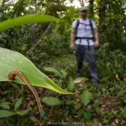 Tiger leech (Haemadipsa picta) on a leaf waiting to reach a passing hiker, Poring (Borneo)