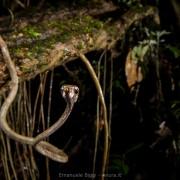 Aplopeltura boa looking for snails and slugs into the Bornean rainforest. Gunung Mulu National Park (Malaysia)