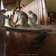Group of silver langur together enjoying the late morning