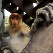 Adult female of proboscis monkey (Nasalis larvatus)