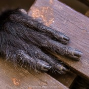 hand of a sleeping langur