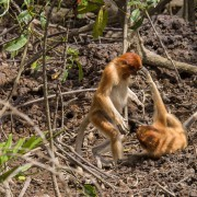 young proboscis monkeys (Nasalis larvatus) playing