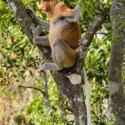 Adult dominant male of proboscis monkey (Nasalis larvatus)