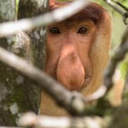first glance of a proboscis monkey (Nasalis larvatus)