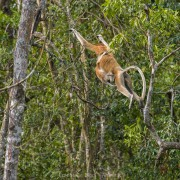 Adult female of proboscis monkey (Nasalis larva's) jumping from tree to tree with her baby