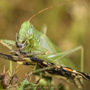 Green katydid Tettigonia sp. eating a Papilio machaon butterfly