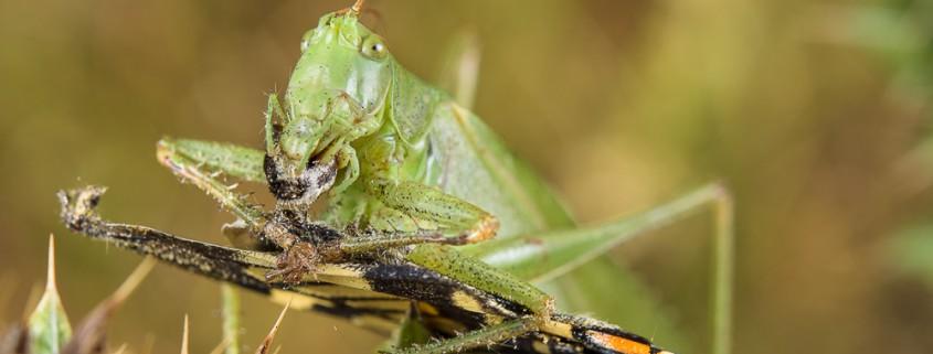 Green katydid Tettigonia sp. eating a Papilio machaon butterfly