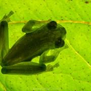 Rulyrana spiculata (IUCN Near Threatened)