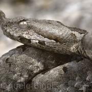 Vipera ammodytes in Croatia