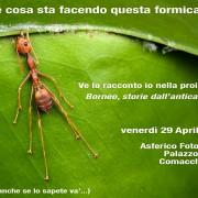 Asferico_Borneo