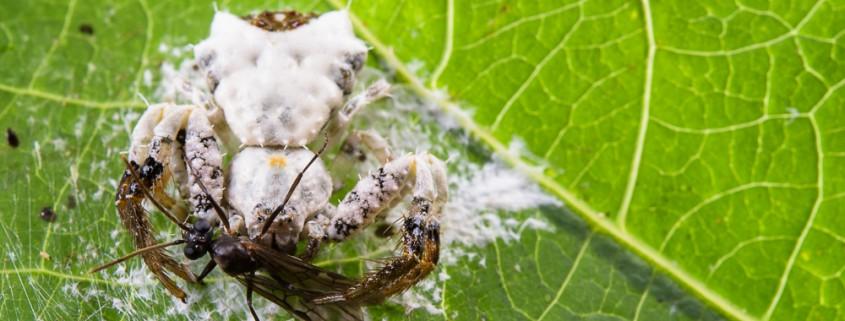 Bird-dropping spider (Phrynarachne decipiens) with its prey, Poring (Borneo)