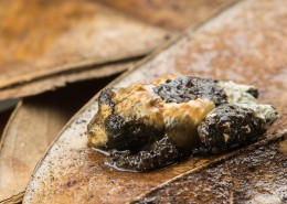 Bird-poop frog Theloderma asperum